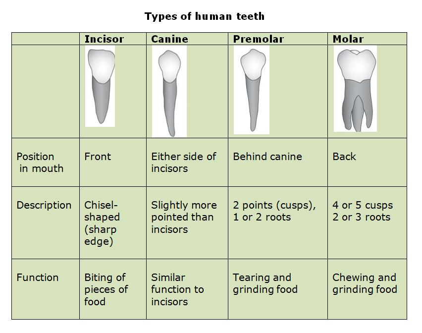 Incisor Tooth Diagram Biting Wiring Diagrams